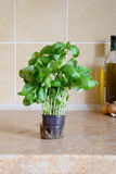 Basil in a pot. Fresh green basil in a vase in the kitchen, ready for an italian receipe Royalty Free Stock Photo