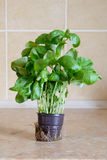 Basil in a pot. Fresh green basil in a vase in the kitchen, ready for an italian receipe Stock Images