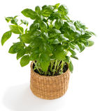 Basil in a pot Stock Photo
