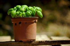 Basil pot Stock Photo