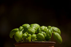 Basil pot. A pot full of sprouting basil plants royalty free stock photography