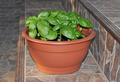 Basil in the pot Stock Image