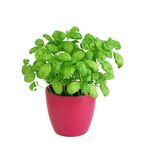 Basil in pot isolated on white Stock Photos