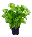 Basil in a pot, isolated Royalty Free Stock Photography