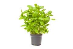 Basil in a pot Stock Photos