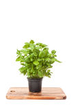 Basil in a pot Stock Images