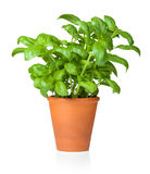 Basil in Pot Isolated on White Background Royalty Free Stock Photo