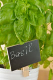 Basil in a pot Royalty Free Stock Image