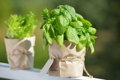 Basil in a pot Stock Photography