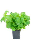 Basil in a pot Stock Image