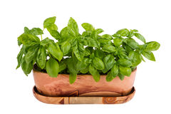 Basil in pot on white background Royalty Free Stock Images