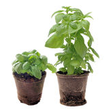 Basil in pots isolated Royalty Free Stock Photos