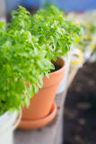 Basil potted garden herbs Stock Photos