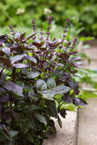 Basil. Purple basil in the garden Royalty Free Stock Images