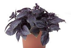 Basil purpury w garnku Obrazy Royalty Free