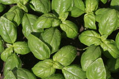 Basil after rain. Royalty Free Stock Images