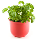 Basil in a red plant pot royalty free stock image
