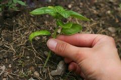Basil roślina obrazy stock