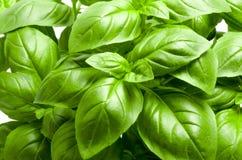Basil roślina obrazy royalty free