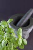 Basil roślina, tłuczek i moździerz na ciemnym tle Zdjęcie Stock