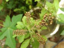 Basil roślina Zdjęcia Royalty Free