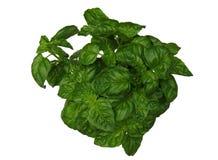 Basil roślina na bielu obrazy royalty free