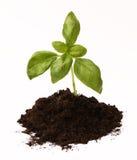 Basil roślina w ziemi Obrazy Stock