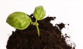 Basil roślina w ziemi 2 Zdjęcia Royalty Free