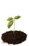 Basil roślina w ziemi 3 obraz stock