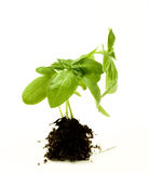 Basil with Roots Royalty Free Stock Photography