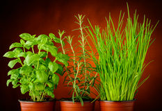 Basil, rosemary and chives Royalty Free Stock Photography