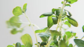 Basil Rotating på en vit bakgrund stock video
