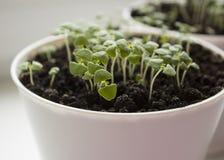 Basil rozsady w białym garnku Zielony sadzonkowy aromatyczny ziele, młode rośliny, liście, uprawia ogródek fotografia stock