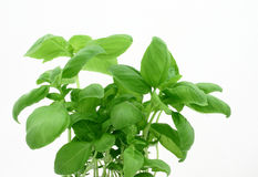 Basil's leaves. Close picture of basil's leaves on the white background Royalty Free Stock Photo