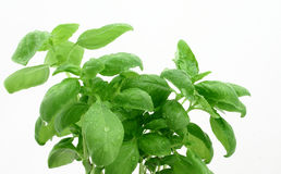 Basil's leaves with dewdrops. Close picture of basil's leaves with dewdrops on the white background Stock Photo