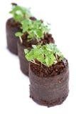 Basil Seedling royaltyfria foton