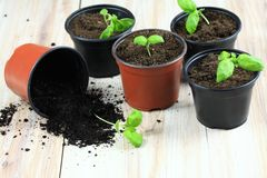 Basil Seedling royaltyfri bild