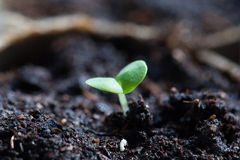 Basil Seedling Germinating no potenciômetro imagens de stock