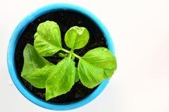 Basil seedling Stock Images