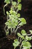 Basil seedlings. Small Basil seedlings growing in soil Stock Photo
