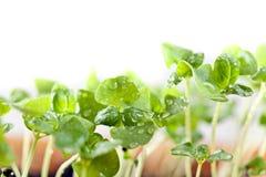Basil seedlings Royalty Free Stock Photography