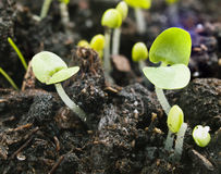 Basil seedlings Stock Photography