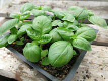 Basil Seedlings In Cell Pack. Basil seedlings growing in a cell pack in a greenhouse Stock Photography