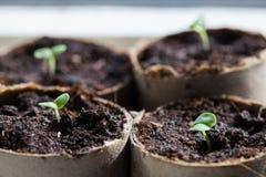 Basil Seedlings Germinating em uns potenciômetros imagem de stock
