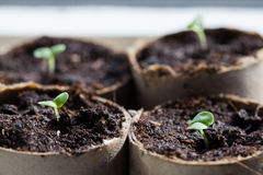 Basil Seedlings Germinating in Pots Stock Image