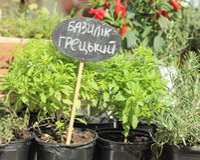 Basil seedlings. Basil 'Greek' seedlings for sale. soft focus Stock Photos