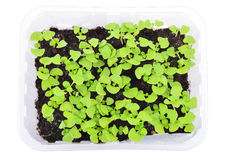 Basil seedlings isolated. Top view. Stock Photo