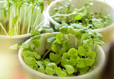 Basil seedlings. In a pot on a table in an urban garden Royalty Free Stock Photography