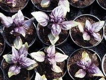 Basil seedlings in pots Royalty Free Stock Photos