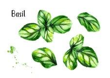 Basil Set Illustration tirée par la main d'aquarelle, d'isolement sur le fond blanc illustration libre de droits